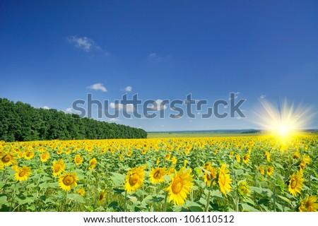 Image of golden plantation sunflowers.