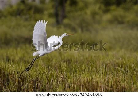 Image of Great Egret(Ardea alba) flying on the natural background. Heron, White Birds, Animal.