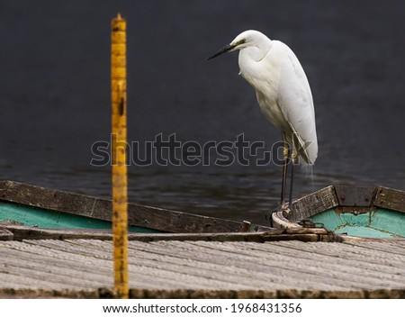 Image of Great Egret Ardea alba on the natural background. Heron, White Birds, Animal Сток-фото ©