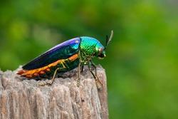 Image of green-legged metallic beetle (Sternocera aequisignata) or Jewel beetle or Metallic wood-boring beetle on a tree stump on a natural background. Insect. Animal.