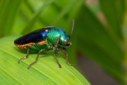 Image of green-legged metallic beetle (Sternocera aequisignata) or Jewel beetle or Metallic wood-boring beetle on the green leaves. Insect. Animal.