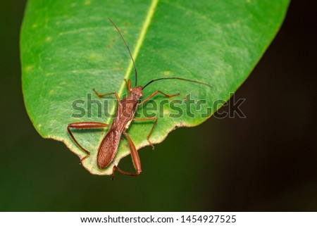Image of Groundnut Bug, Acanthocoris sordidus (Coreidae) on green leaves. Insect. Animal.