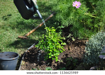 image of hands of the man taking of tree pot and growing the plant in the soil and water the plant.  #1136625989