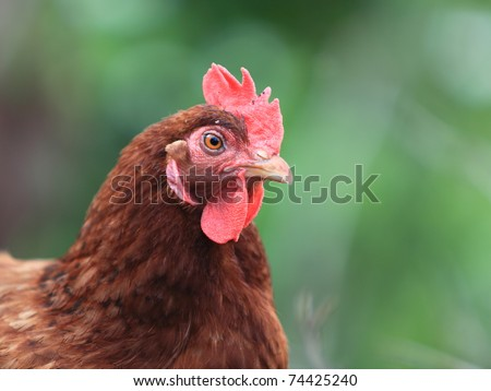 Image of head of hen on a natural background.