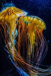 Image of jellyfish (poison jellyfish)