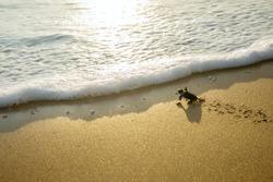 Image of little sea turtles crawling on the sand beach toward the sea at Pangumbahan beach, Sukabumi, West Java