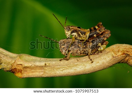 Stock Photo Image of Male and Female brown grasshoppers(Acrididae) mating make love on the branch. Locust, Insect, Animal.