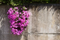 Image of Moss phlox on concrete wall