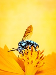 Image of neon cuckoo bee (Thyreus nitidulus) on yellow flower pollen collects nectar on yellow background with space blur background for text.. Insect. Animal.