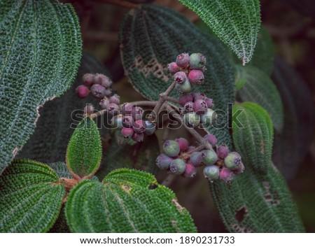 Image of nigüito (Leandra subseriata) with ripe fruits in Barragán Valle del Cauca Colombia Foto stock ©