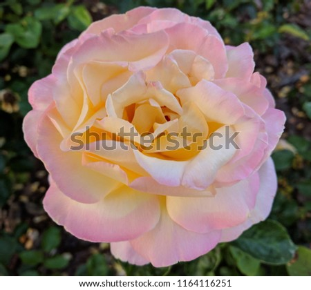 Image of one rose of light shades. Rose flower in pale yellow and pale pink shades. #1164116251