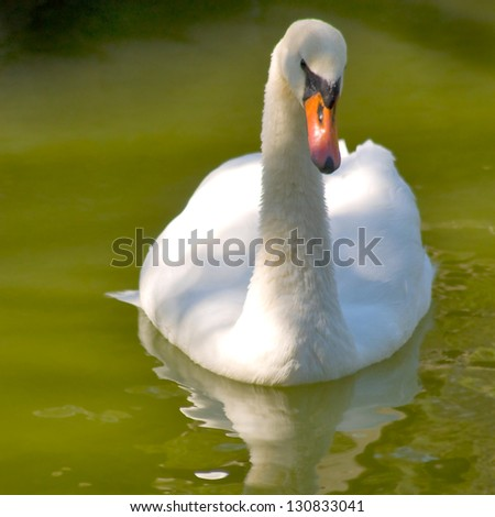 image of one swan on the water - stock photo