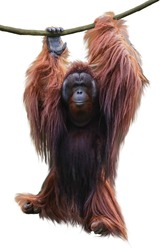 Image of orangutan hanging on a liana rope isolated over white background. This has clipping path.