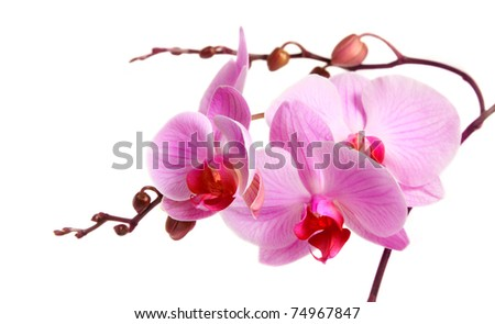 Image of orchid flower isolated over white #74967847