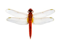 Image of red dragonfly on a white background. Insect. Animal.