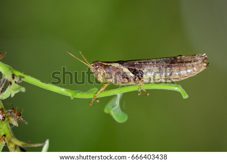 Image of rufous-legged grasshopper on nature background. Insect Animal. #666403438