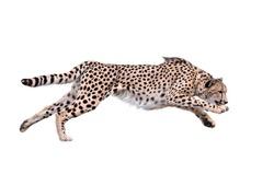 Image of running cheetah ,Isolated on white Background
