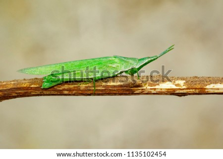 Stock Photo Image of Slant-faced or Gaudy Grasshopper on brown branch on nature background. Insect. Animal