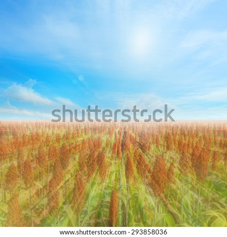 image of sorghum field and clear blue sky for background usage. #293858036