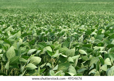 image of soybeans as far as can be seen