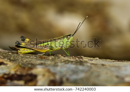 Image of sugarcane white-tipped locust (Ceracris fasciata) on the natural background. Insect. Animal. Caelifera., Acrididae #742240003