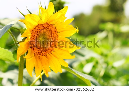 Image of sunflower. Selective focus