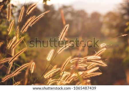 Image of sunny silhouette of grass poaceae in the soft golden light at sunset, natural blurred background of the field somewhere in the north of Thailand