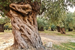 Image of the ancient olive orchard