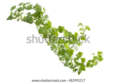 Image of the branch ivy on a white background