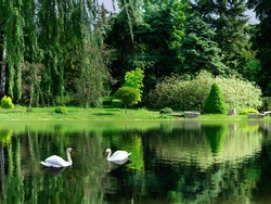 image of the lake and swans on a background of trees in the park