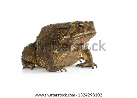 Image of toad(Bufonidae) isolated on a white background. Amphibian. Animal.