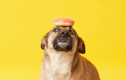 Image of trained German shepherd with donut on her head waiting for the order isolated on the yellow background