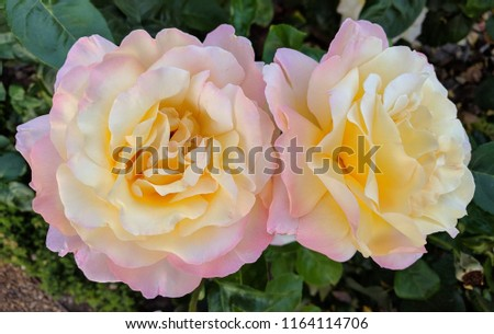 Image of two roses of light shades. Two roses in pale yellow and pale pink shades. #1164114706