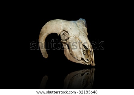 image of urus skull isolated on black