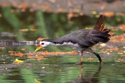 Image of white-breasted waterhen bird(Amaurornis phoenicurus) are looking for food in swamp on nature background. Bird. Animals.