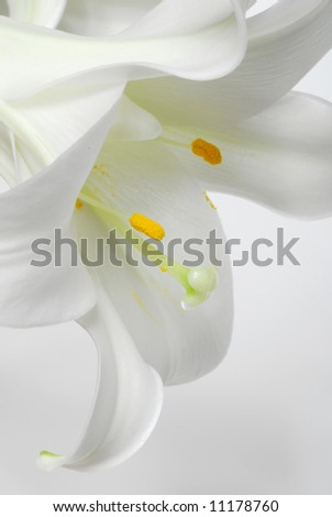Image of white flower, lily, with white background