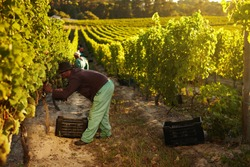 Image of worker picking grapes from vines and collecting in container, people harvesting grapes for wine in vineyard.