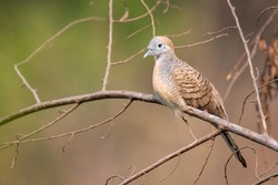 Image of zebra dove on a branch on nature background. Animal. Birds.