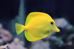Image of zebrasoma yellow tang fish in aquarium