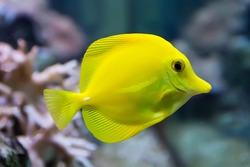 Image of zebrasoma yellow tang fish in aquarium