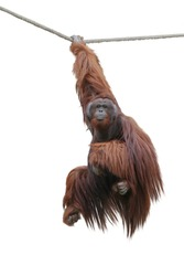 image orangutan hanging on a rope isolated over white background. This has clipping path.