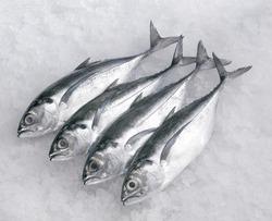 Image series of fishes. Cincaru fish.