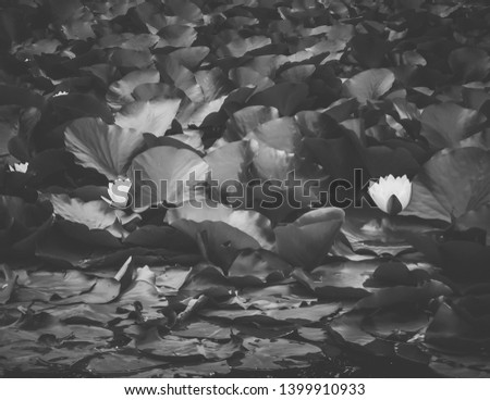 Image shows a close-up picture of a lily pond in black and white.