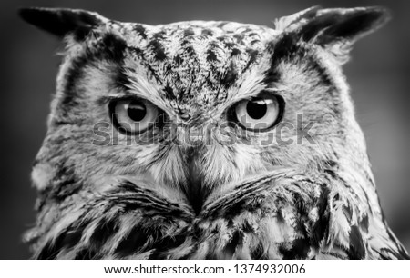 Image shows a close up picture of an owl starting intensely at the viewer. Black and white photo with a blurred background.