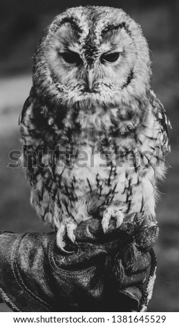 Image shows a close up picture of an owl with a moody expression. Black and white photo with a blurred background.