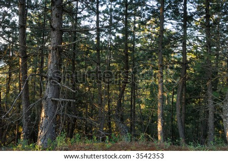 Image shows a forest on Mount Taygetos, southern Greece