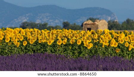 Image shows a typical colorful landscape in Provence, France. A sunflower field is combined with a lavender field in the bottom and a neglected barn in the background. - stock photo