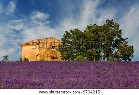 Image shows an old abandoned barn overlooking a lavender field, in the region of Provence, France