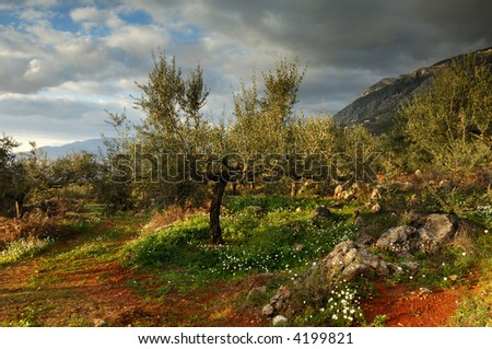Image shows an olive tree field in Messinia, southern Greece, after a rain storm