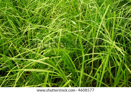 Image shows big blades of wild green grass filling the frame